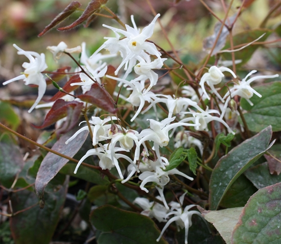 Picture of Epimedium sempervirens Milky White