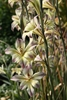 Picture of Gladiolus 'West Coast Hybrids'