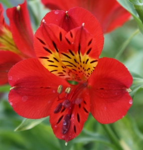 Picture for category Alstroemeria