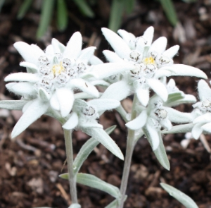 Picture for category Leontopodium (Edelweiss)