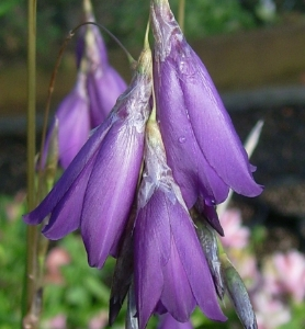 Picture for category Dierama (Angel's Fishing Rod)