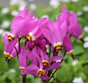 Picture for category Dodecatheon (Shooting Stars)
