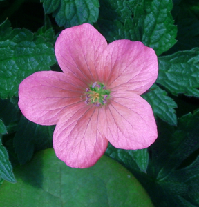 Picture for category Geranium (Cranesbill)