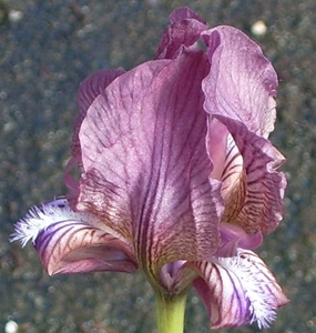 Picture for category Iris