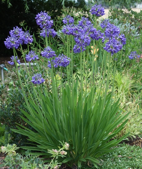 Picture of Agapanthus 'Augustnacht'