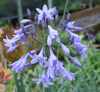 Picture of Agapanthus 'Castle of Mey'