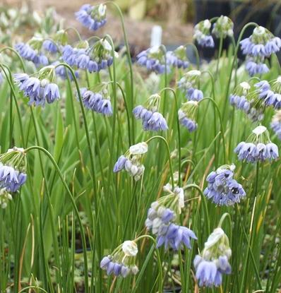 Picture of Allium cyaneum