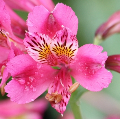 """Picture of Alstroemeria """"deep bright pink"""""""