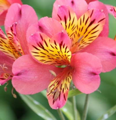 Picture of Alstroemeria 'Cerise'