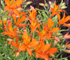 Picture of Alstroemeria humelina