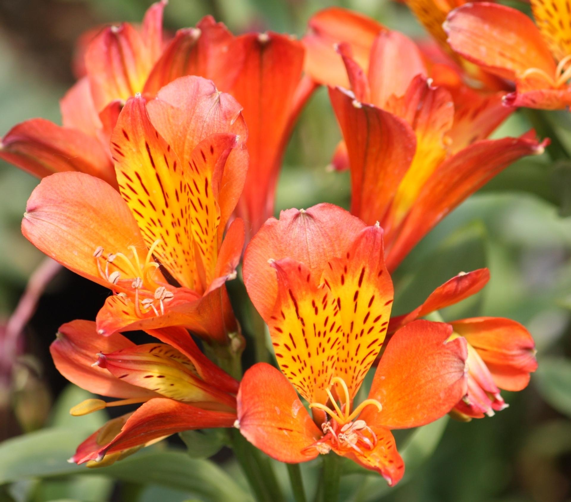 Picture of Alstroemeria 'Inca Mambo'