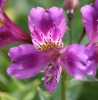 Picture of Alstroemeria 'Yum Yum Plum'