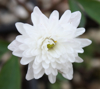 Picture of Anemone nemorosa 'Blue Eyes'