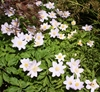 Picture of Anemone nemorosa 'Robinsoniana'