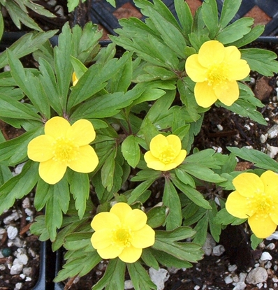 Picture of Anemone ranunculoides