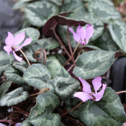 Picture of Cyclamen cilicium