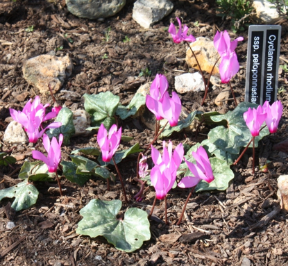 Picture of Cyclamen rhodium ssp. peloponnesiacum
