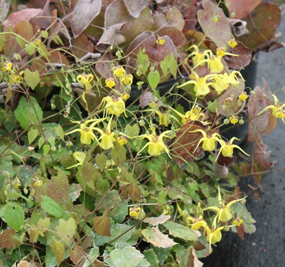 Picture of Epimedium davidii 'Wolong Dwarf'