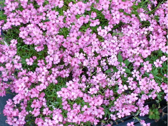 Picture of Gypsophila repens 'Rosa Schoenheit'
