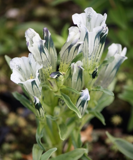Picture of Gentiana erectosepala