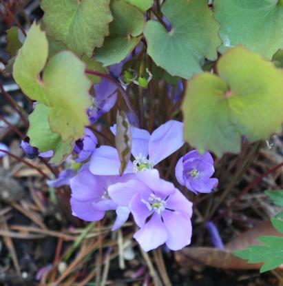 Picture of Jeffersonia dubia