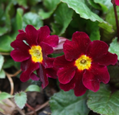 Picture of Primula 'Allure'
