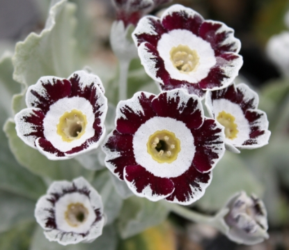 Picture of Primula auricula 'Star Wars'