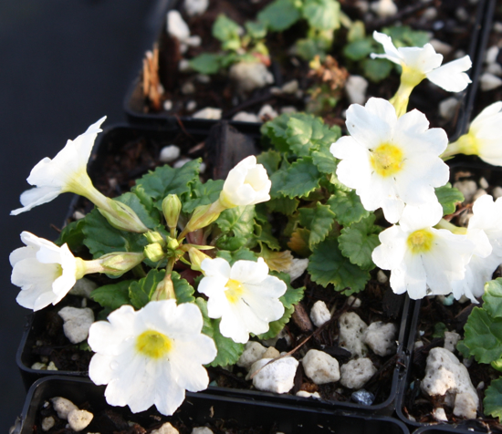 Picture of Primula juliae White Form