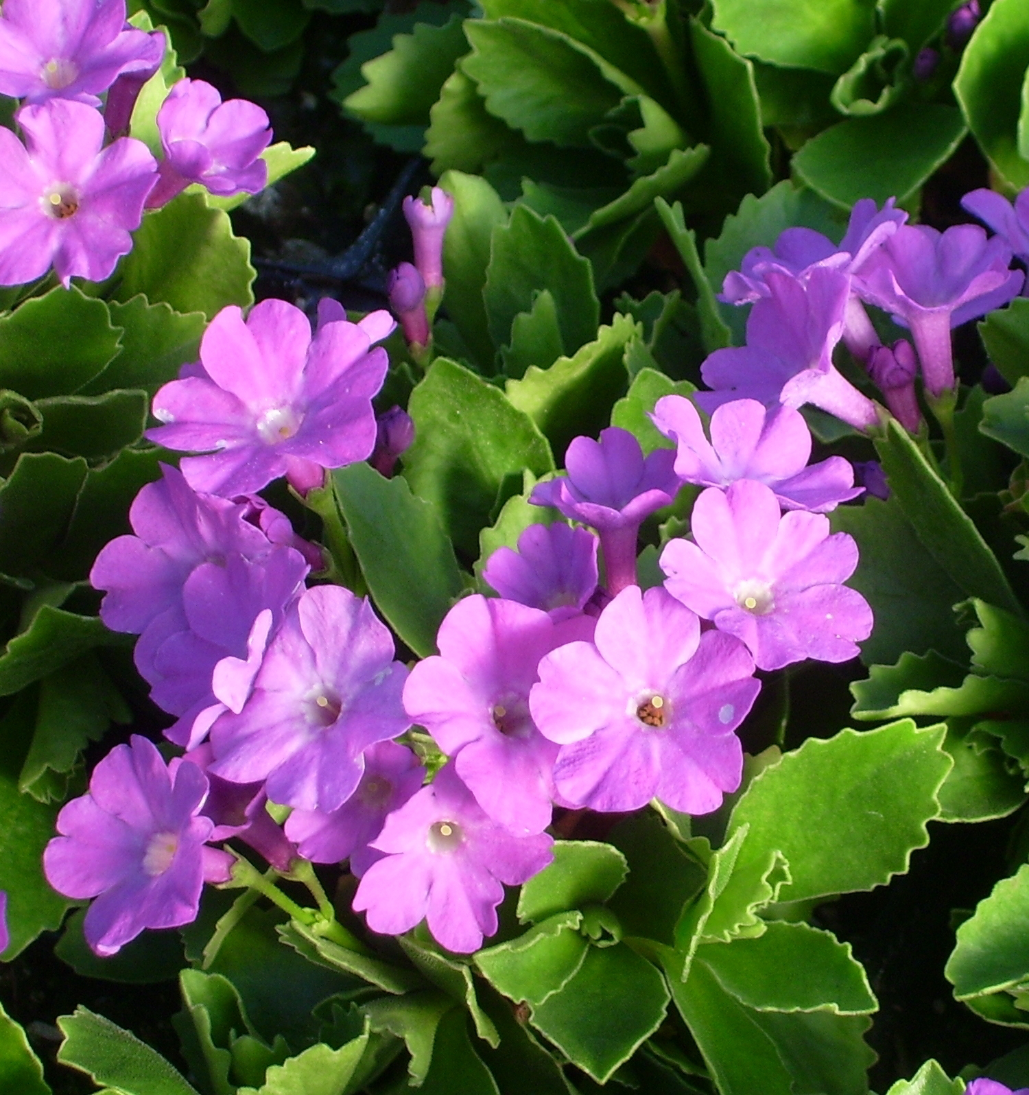Picture of Primula marginata 'Dekker'