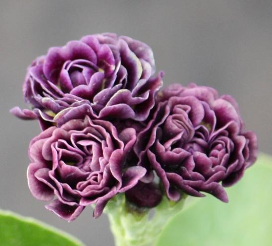 Picture of Primula auricula 'Excalibur'