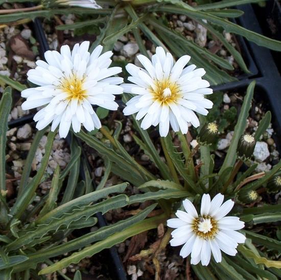 Picture of Taraxacum pamiricum