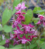 Picture of Epimedium 'Cherry Blossom'