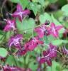 Picture of Epimedium 'Cherry Blossom'