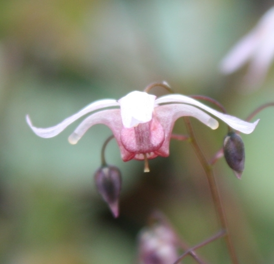 Picture of Epimedium 'Pink Elf'