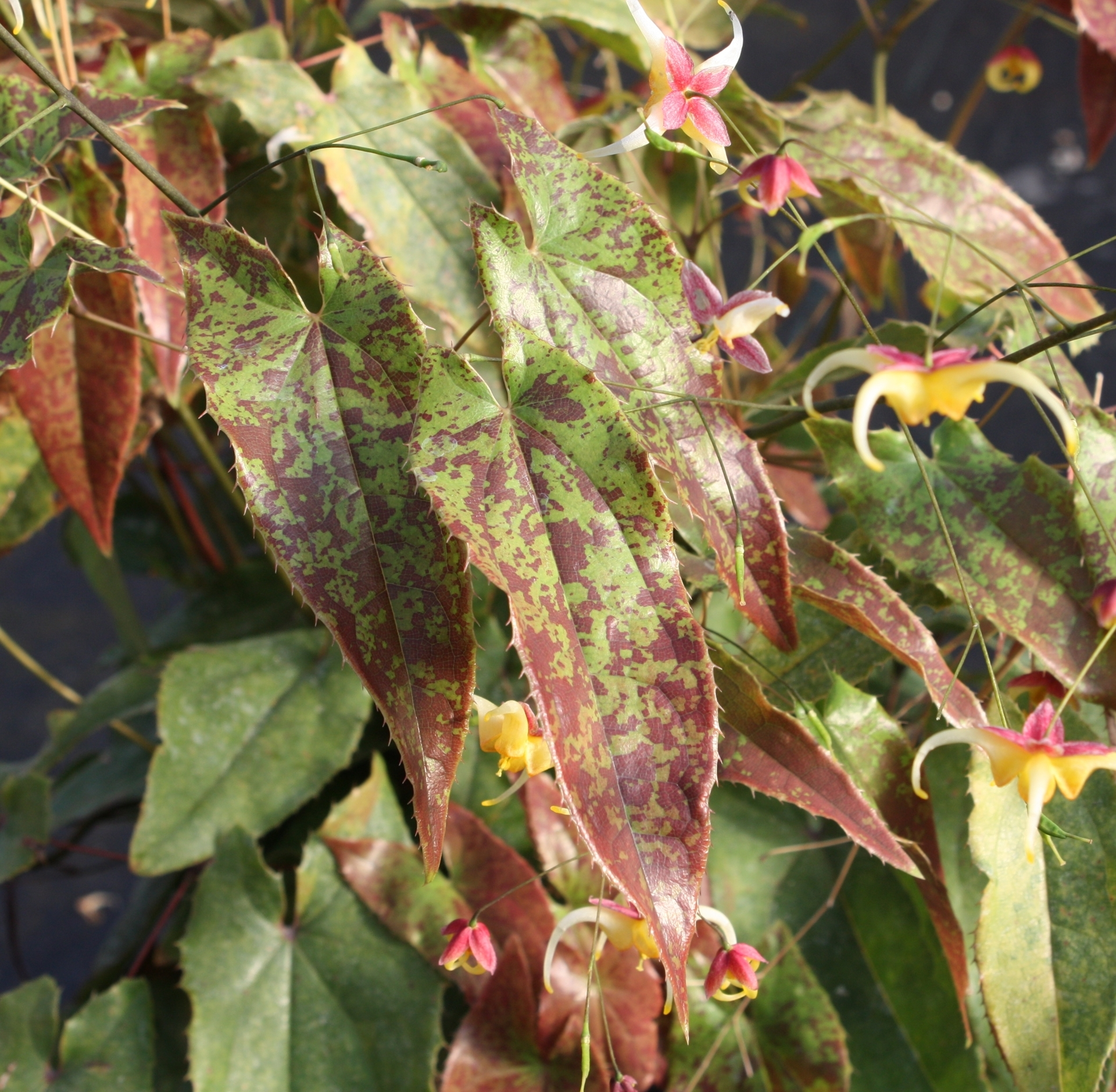 Picture of Epimedium wushanense HP coll. 88/89