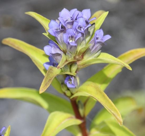 Picture of Gentiana cruciata