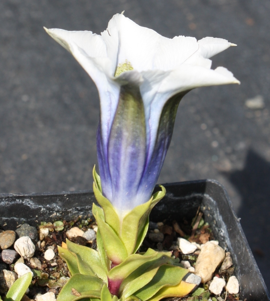 Picture of Gentiana occidentalis white/blue