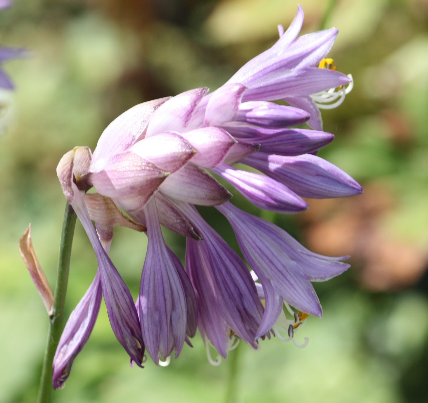 Edelweiss Perennials. Hosta mukayama 'Purple Flamingo'
