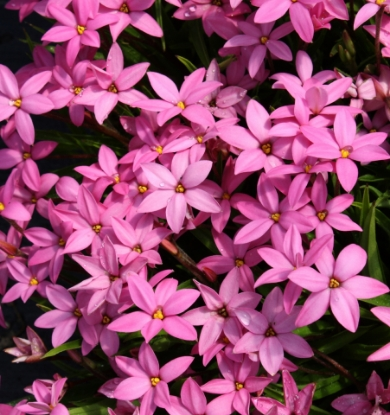 Picture of Rhodohypoxis baurii 'Hebron Farm Cerise'
