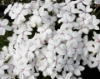 Picture of Rhodohypoxis baurii 'Dulce'