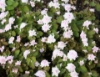 Picture of Anemonella thalictroides 'Cameo'