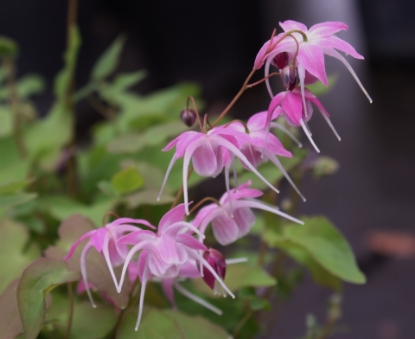Picture of Epimedium x youngianum  'Marchacos Sprite'
