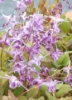 Picture of Epimedium grandiflorum 'Lilafee' [Lilac Fairy]