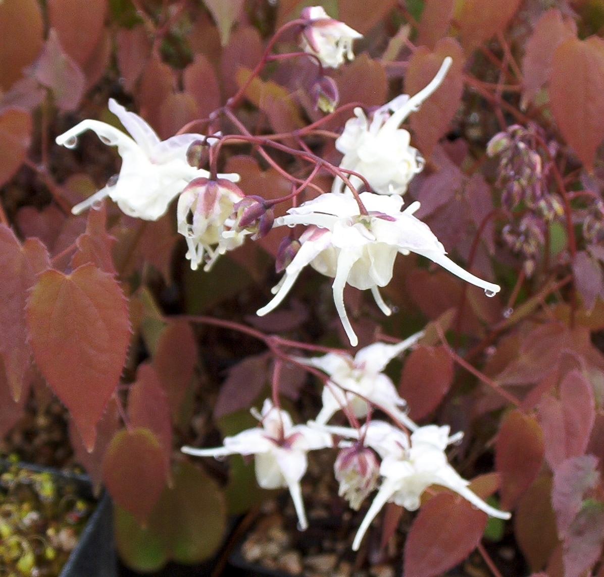 Picture of Epimedium grandiflorum