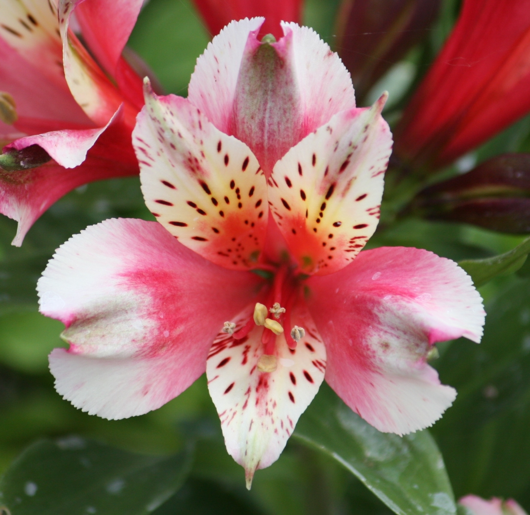 Picture of Alstroemeria 'Inca Sweety'