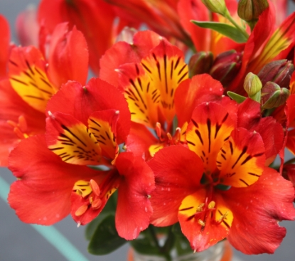 Picture of Alstroemeria 'Inca Pulse'