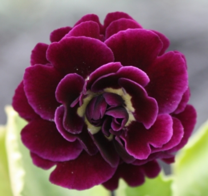 Picture of Primula auricula 'Shalford'