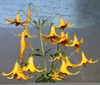 Picture of Lilium canadense yellow BR x-lg
