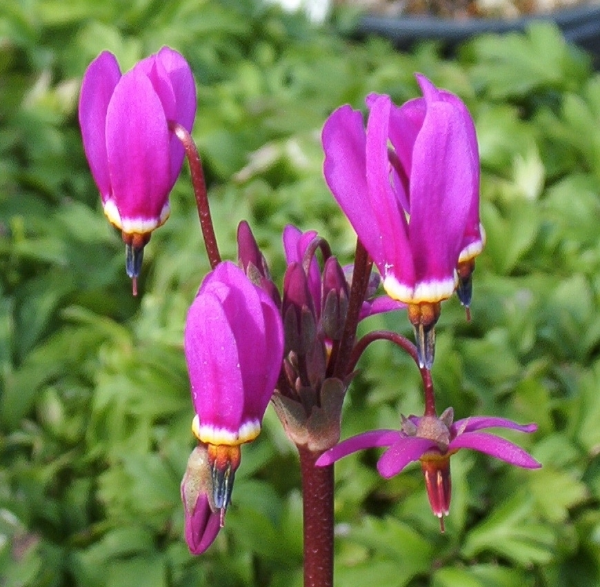 Picture of Dodecatheon pulchellum 'Red Wings'