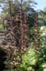 Picture of Veratrum nigrum x-large